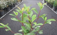 photinia red robin haie